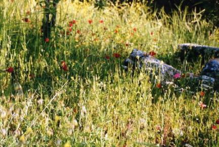 トロイ・ケシの花