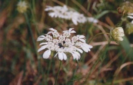 ミラの荒地に咲くキャンディタフト