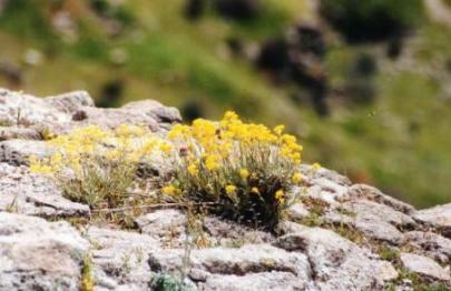 ベルガマ・アクロポリスに咲く花