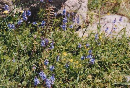 ベルガマ・アクロポリス野花