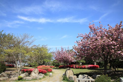 総合公園の桜