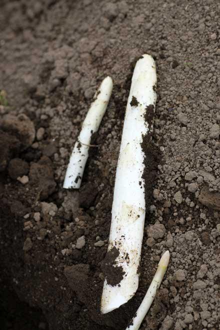 ホワイトアスパラのあ収穫作業