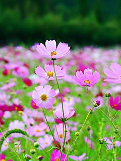 コスモスの花 (携帯待受画像)