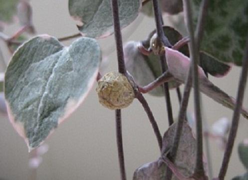 ムカゴ茎.JPG