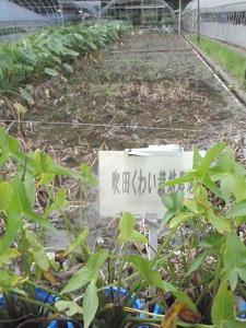 プレイト慈姑畑10月