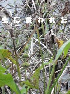 虫に食われた茎