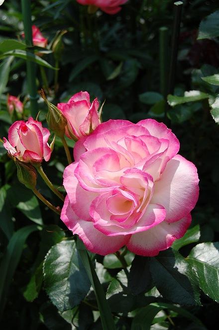 薔薇の画像 p1_22