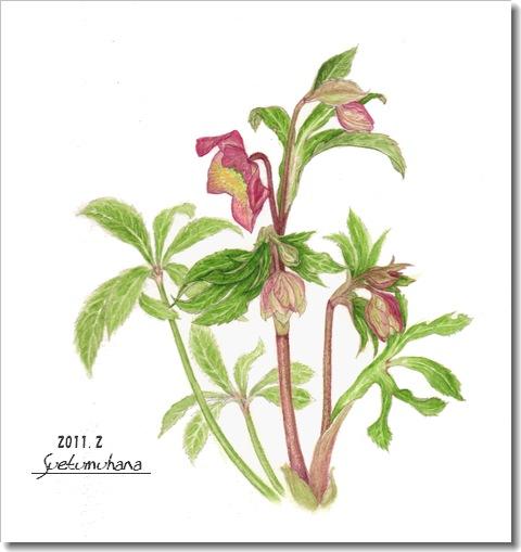Helleborus Christmas Rose