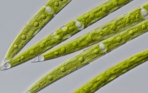 algae-evolition-top-300x188.jpg