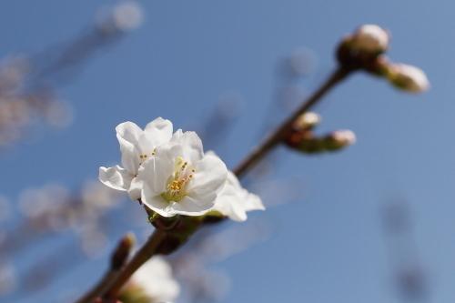 2013_05_23_桜開花_003.JPG