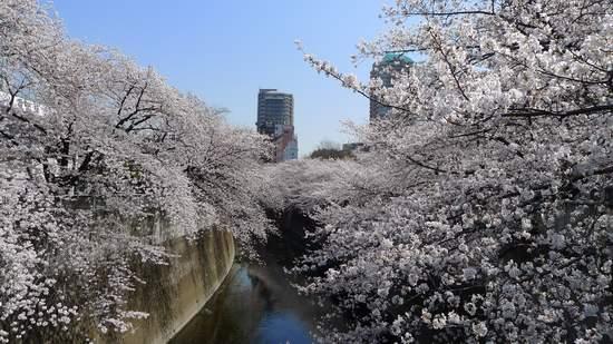 2013神田川の桜6.JPG