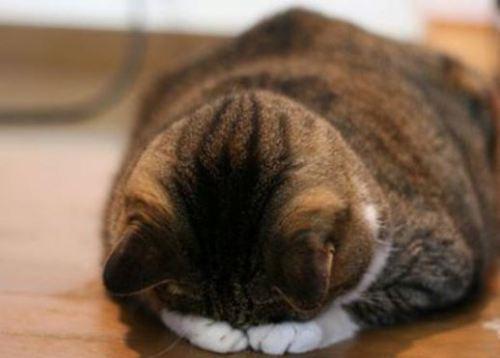 謝罪猫ちゃん・ ごめん寝.jpg