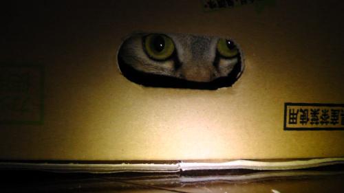 箱の中から覗く猫