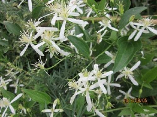 IMG_3036仙石原の花1.jpg