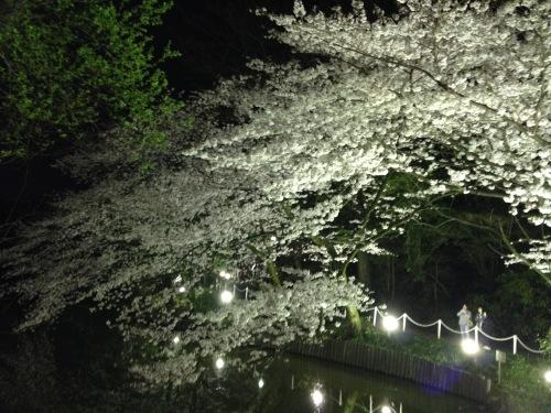 2015夜桜.jpg