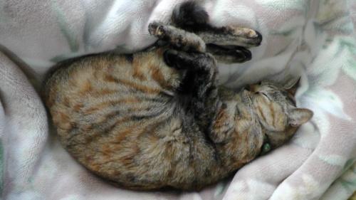 毛布の上で寝る猫