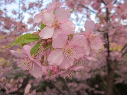 IMG_4459桜1.jpg