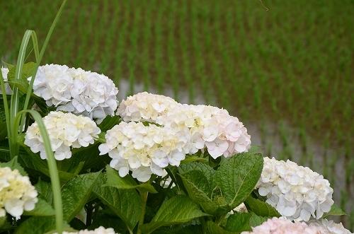第4回枝川内あじさい祭り 205.jpg