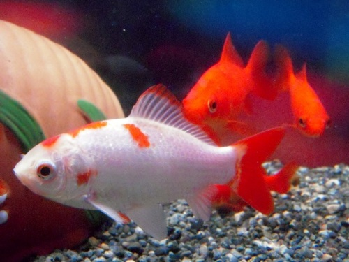 白勝ち金魚