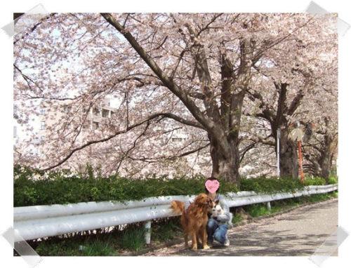 2006-0404桜-1.JPG