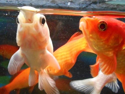 白い金魚の一気飲み