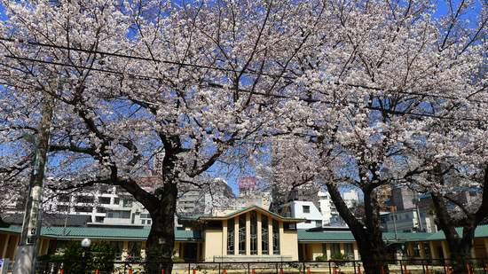 2013明日館の桜.JPG