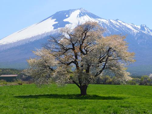 0511上坊の一本桜.jpg