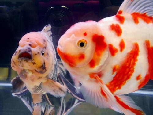 個性的な金魚