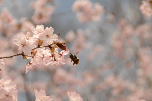 2014_05_12_丸山公園と役場の桜_049.JPG