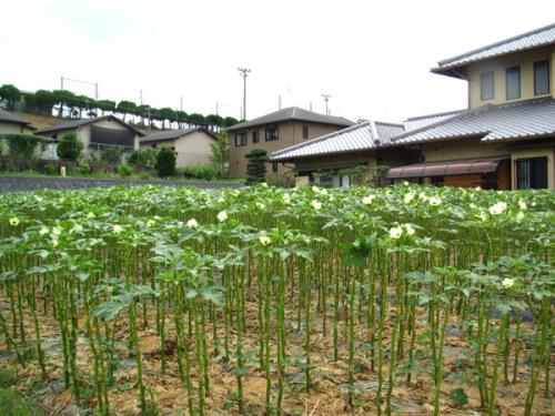 オクラ畑.JPG