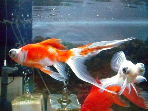 吹き流し尾の金魚