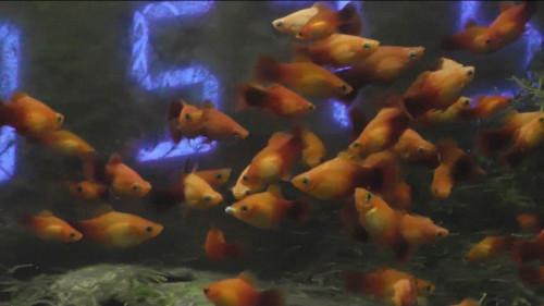 プラティに金魚のエサ