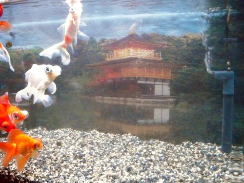 金閣寺の水槽バックスクリーン