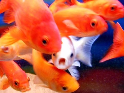 縁起のいい金魚