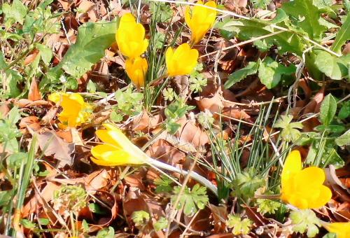 クロッカスの花.JPG