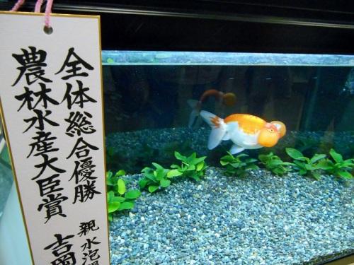 金魚フェア総合優勝のスイホウガン
