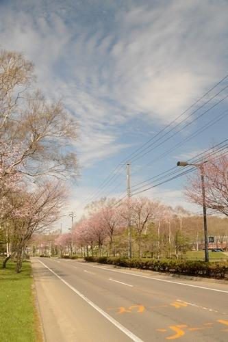 2014_05_12_丸山公園と役場の桜_017.JPG