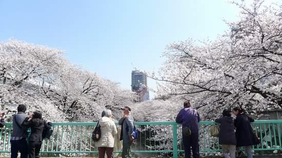 2013神田川の桜5.JPG