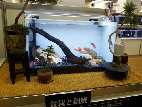 盆栽と錦鯉