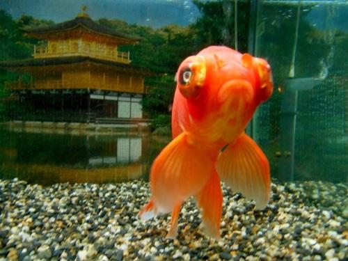 金魚の胸鰭