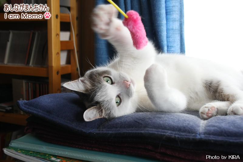 100円ショップの猫じゃらしで遊ぶ猫