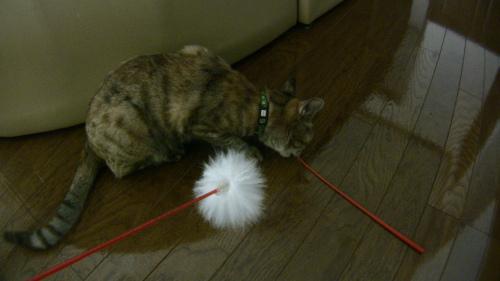 毛のない猫じゃらしの方が好きな猫