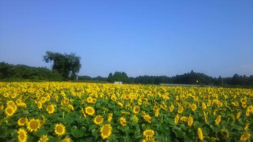 熊本県西原村のひまわり_o.jpg