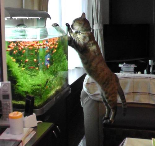 猫による水槽の点検