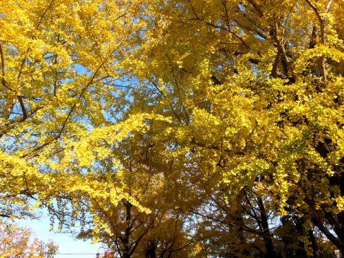 大きな銀杏の木でした!黄色に色付いた銀杏の葉は圧巻です。.jpg