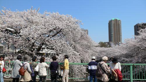 120409神田川桜2.JPG
