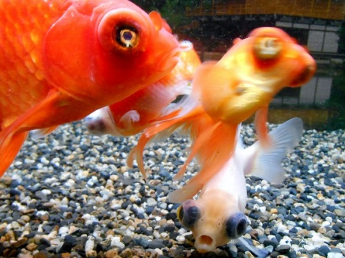 飛ばされる金魚