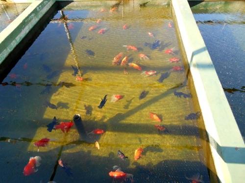 金魚飼育池