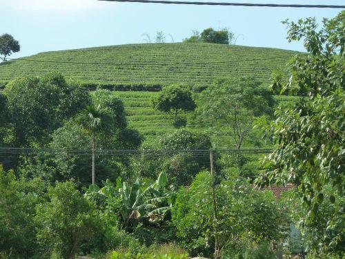 ベトナム茶1.JPG