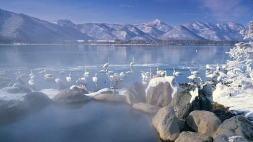 屈斜路湖の白鳥1.jpg